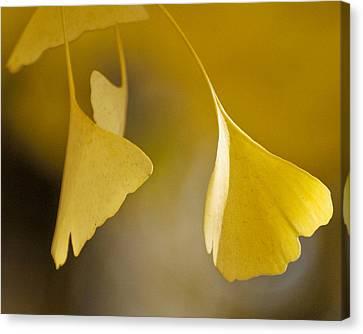 Yellow Ginkgo Canvas Print