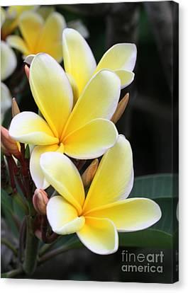 Yellow Hawaiian Plumeria Flowers Canvas Print by Sabrina L Ryan