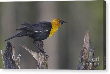 Yellow Headed Bird Canvas Print