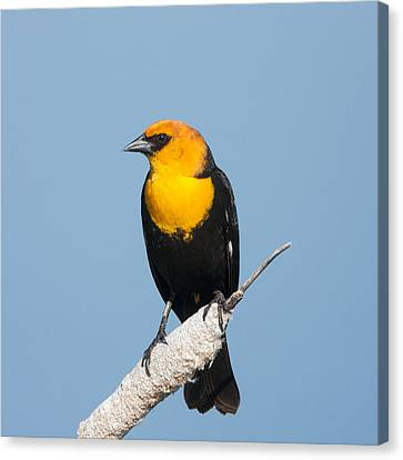 Canvas Print featuring the photograph Yellow Headed Blackbird by Jack Bell