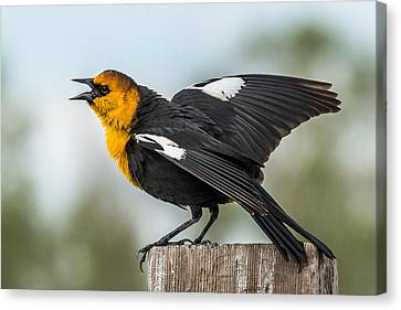Canvas Print featuring the photograph Yellow-headed Blackbird by Yeates Photography