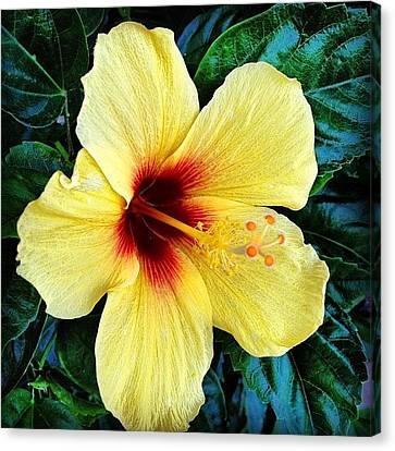 Yellow Hibiscus 2 Canvas Print by Darice Machel McGuire
