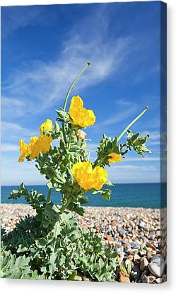 Yellow Horned Poppy (glaucium Flavum) Canvas Print by Ashley Cooper