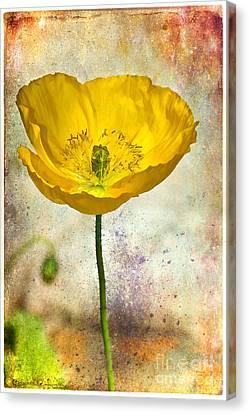 Yellow Icelandic Poppy And Texture Canvas Print