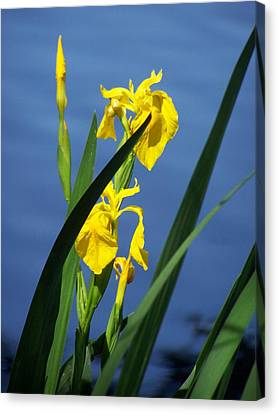 Yellow Irises Canvas Print by Noreen HaCohen