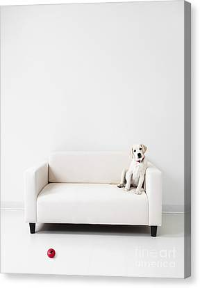 Yellow Lab In A White Room Canvas Print by Diane Diederich