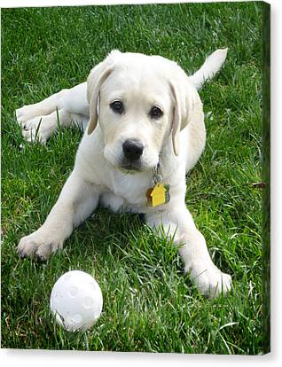 Yellow Lab Puppy Got A Ball Canvas Print by Irina Sztukowski
