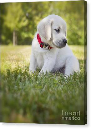 Yellow Lab Puppy In The Grass Canvas Print by Diane Diederich