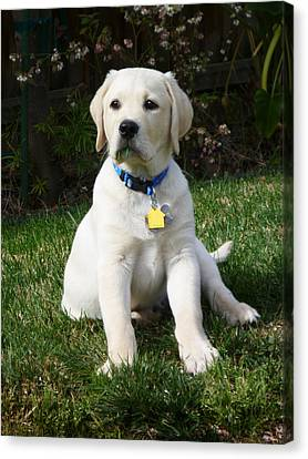 Yellow Lab Puppy Standing Guard  Canvas Print by Irina Sztukowski
