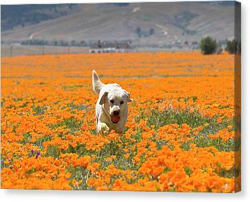 Yellow Labrador Retriever Walking Canvas Print by Zandria Muench Beraldo