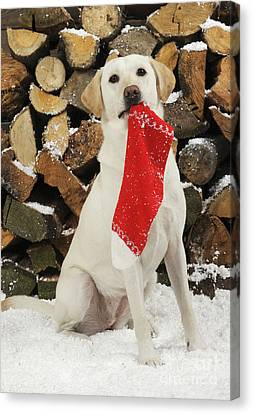 Yellow Labrador With Stocking Canvas Print by John Daniels
