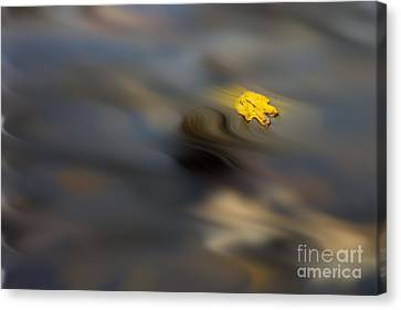 Yellow Leaf Floating In Water Canvas Print by Dan Friend