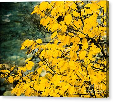 Yellow Leaves By The Water Canvas Print by Sonja Quintero