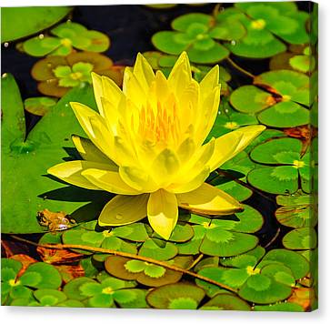 Yellow Lily Canvas Print by John Johnson