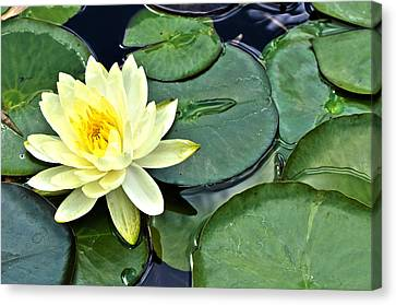 Yellow Lotus - Botanical Art By Sharon Cummings Canvas Print by Sharon Cummings