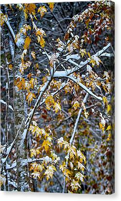 Winter Storm Canvas Print - Yellow Maple And Snow by John Haldane