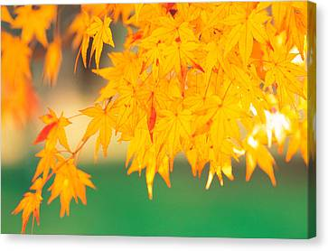 Yellow Maple Leaves, Autumn Canvas Print by Panoramic Images