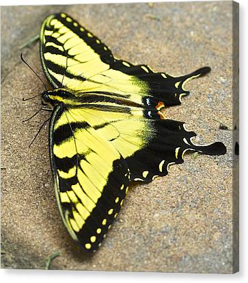 Yellow Monarch Butterfly Canvas Print