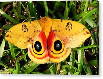 Yellow Moth Canvas Print by Ed Roberts