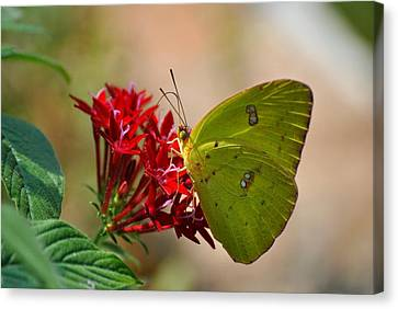 Canvas Print featuring the photograph Yellow Moth by Kelly Nowak