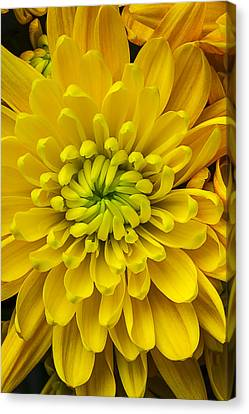 Yellow Mum Canvas Print by Garry Gay