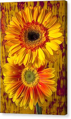 Yellow Mums Together Canvas Print by Garry Gay