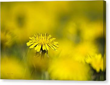 Yellow On Yellow Dandelion Canvas Print by Christina Rollo