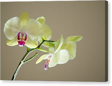 Yellow Orchids Canvas Print by Ben Spencer