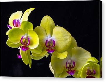 Yellow Orchids Canvas Print by Garry Gay