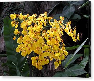 Yellow Orchids Canvas Print by Zina Stromberg