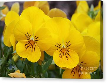 Yellow Pansies Canvas Print by Judy Whitton
