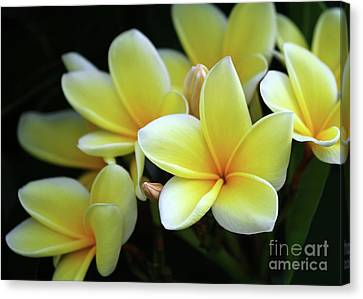 Yellow Plumeria Cascade Canvas Print