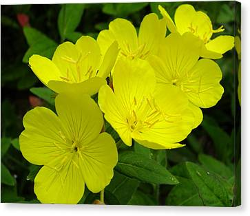 Yellow Primrose Canvas Print by Gene Cyr