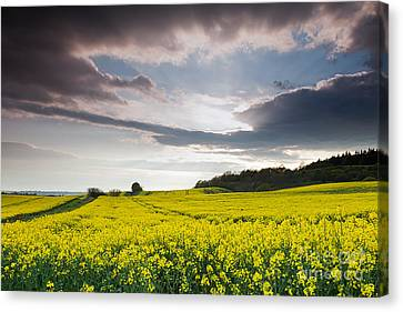 Yellow Rapeseed Field Beautiful Canvas Print by Boon Mee