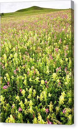 Yellow Rattle (rhinanthus Rumelicus) Canvas Print by Bob Gibbons