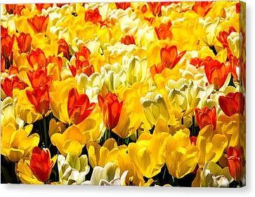 Yellow Red And White Tulips Canvas Print by Menachem Ganon