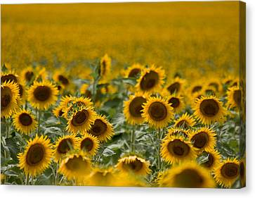 Canvas Print featuring the photograph Yellow by Ronda Kimbrow