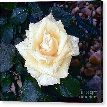 Canvas Print featuring the photograph Yellow Rose At Dawn by Alys Caviness-Gober