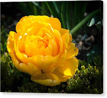 Canvas Print featuring the photograph Yellow Rose by Dee Dee  Whittle