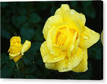 Yellow Rose Flowers Blooming, Close Up Canvas Print by Panoramic Images