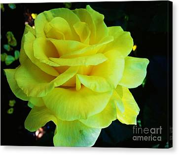 Yellow Rose Canvas Print by Heather L Wright