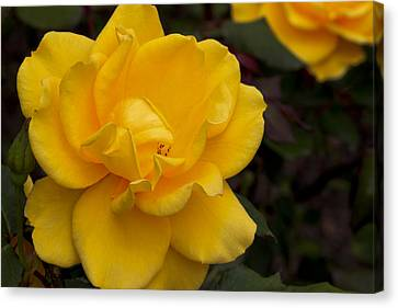 Yellow Rose Canvas Print by Ivete Basso Photography