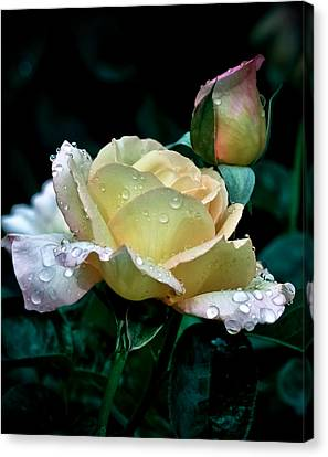 Yellow Rose Morning Dew Canvas Print by Julie Palencia