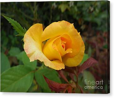 Yellow Rose Of Texas Canvas Print by Eloise Schneider