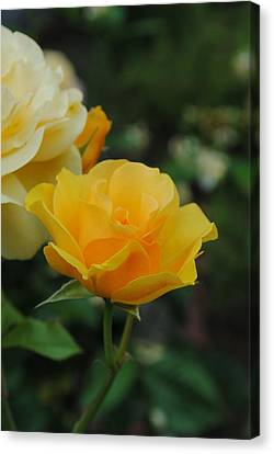 Yellow Rose Portland Canvas Print by Robert  Moss