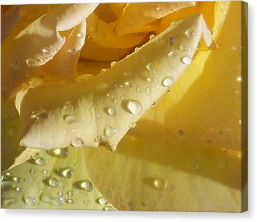 Yellow Rose Raindrops Canvas Print by Diannah Lynch