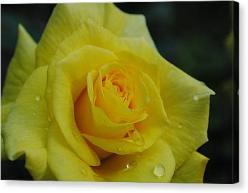 Yellow Roses Canvas Print by Robert  Moss