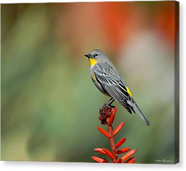 Canvas Print featuring the photograph Yellow-rumped Warbler by Avian Resources