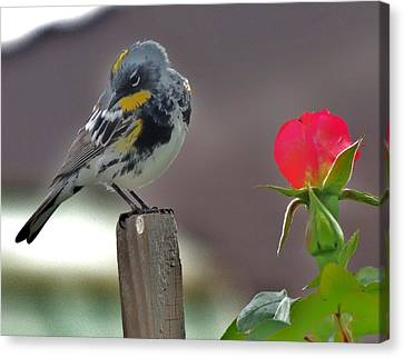Yellow Rumped Warbler Canvas Print by Helen Carson