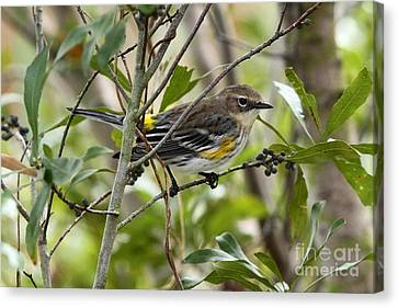 Yellow-rumped Warbler Canvas Print by Jennifer Zelik
